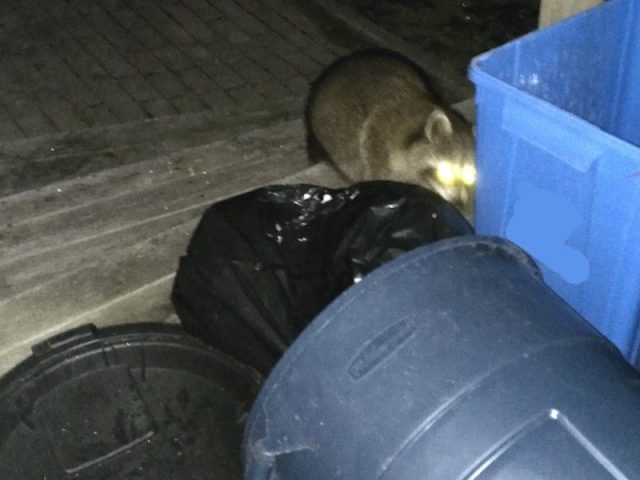 Five ways to keep raccoons out of a garbage can - Thumb and Hammer