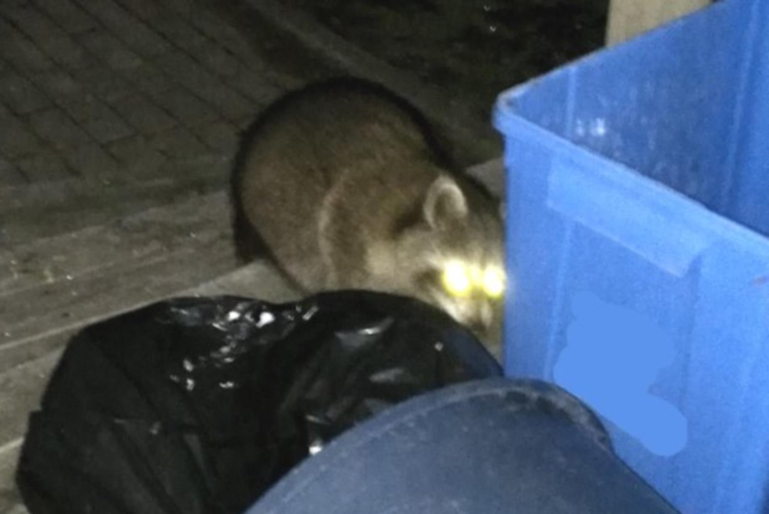 Five ways to keep raccoons out of a garbage can